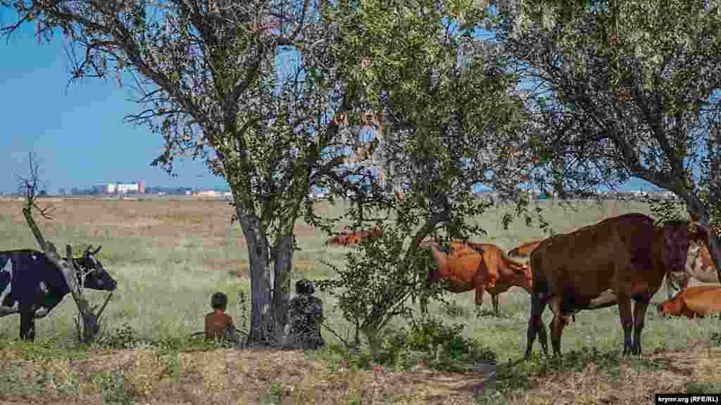 Дети и коровы прячутся от солнца в придорожной лесопосадке рядом с трамвайной линией, идущей через Молочное