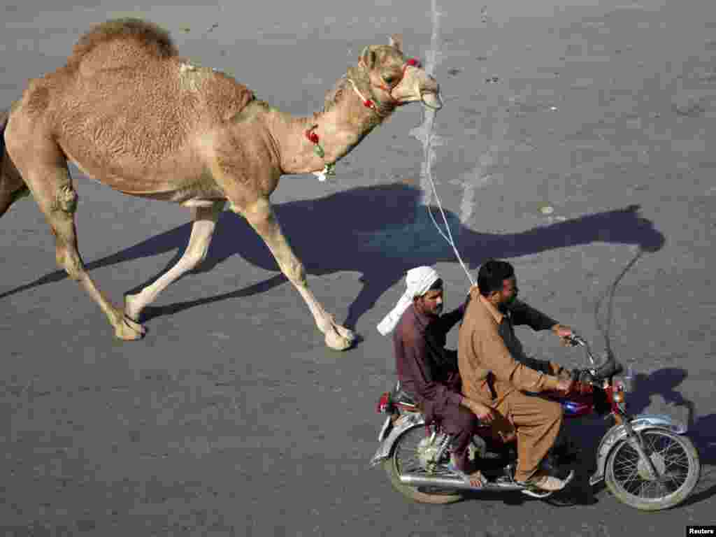 Men riding on a motorcycle lead a recently purchased camel ahead of Eid al-Adha celebrations in Lahore, Pakistan. (Photo for Reuters by Mohsin Raza)