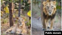 Asiatic lion- Panthera leo persica - معروف به شیر هندی یا شیر ایرانی (سمت راست نر و سمت چپ، ماده)