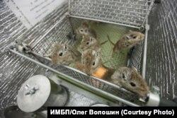 Мыши готовятся к полету на Бионе