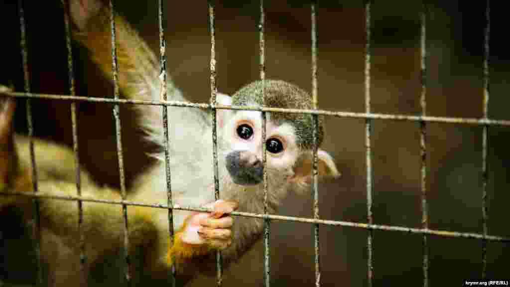 Это коата или обезьяна-паук. У таких обезьян очень цепкий хвост, благодаря которому они могут зацепиться за все что угодно. Кроме того, коаты могут подбирать хвостом еду