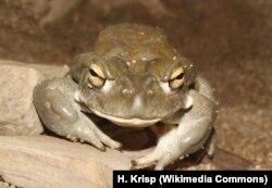 Приносящая счастье колорадская жаба
