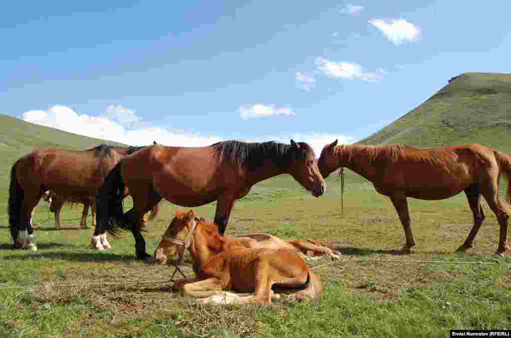 Horses graze on summer pasture in Kyrgyzstan's Alai moumtains on July 16. (RFE/RL/Ernist Nurmatov)