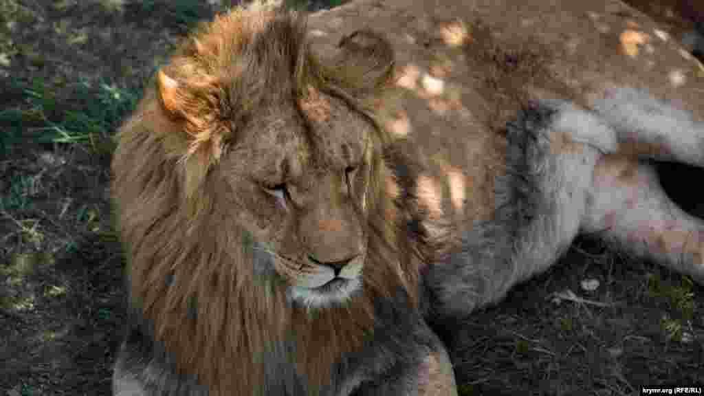 Дневной отдых. Один из львов, обитающих в парке, прячется от жары в тени.