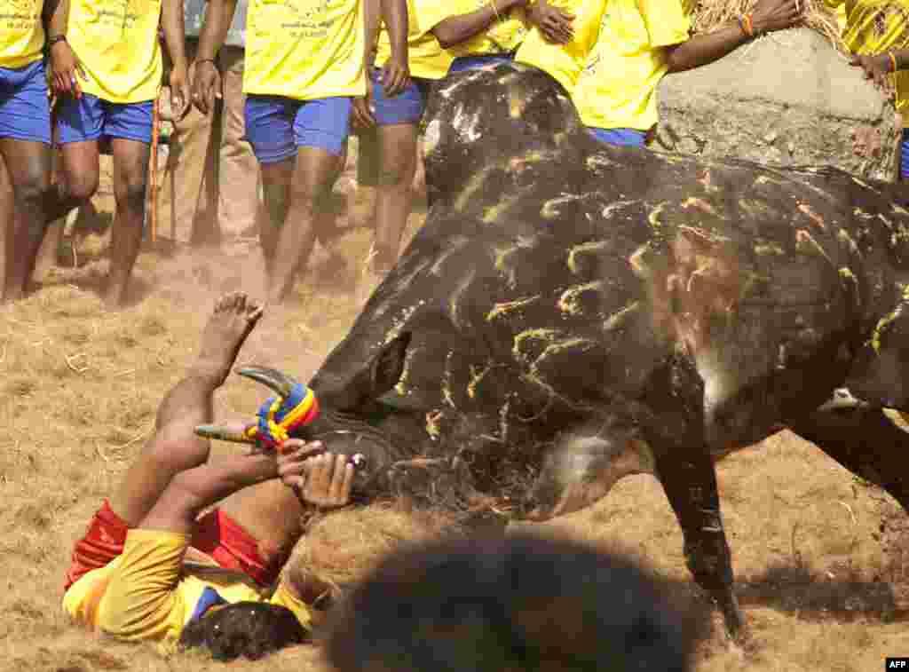Indija - Tradicionalno pripitomljavanje bikova u Palamedu, 15. januar 2013.