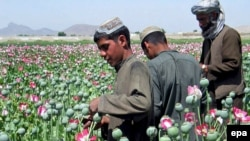 Harvesting poppies on the outskirts of Kandahar