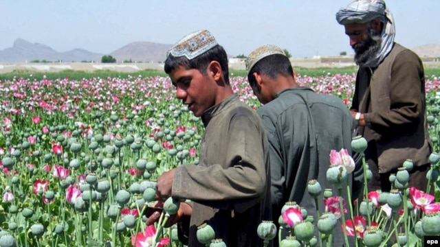 Poppy fields like this one in southern Afghanistan have increased in areas near the Tajik border