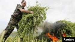Казачий активист уничтожает урожай дикорастущей конопли. Красноярский край, 12 июля 2012 года.