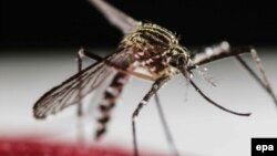 Zika wirusynyň döremegine sebäp bolýan Aedes Aegypti çybyny, San Jose, Kosta Rika, 30-njy ýanwar, 2016