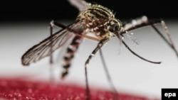 «Զիկա» վիրուսը տարածող Aedes Aegypti մոծակը
