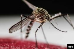 Комар вида Aedes aegypti, переносящий вирус лихорадки Зика