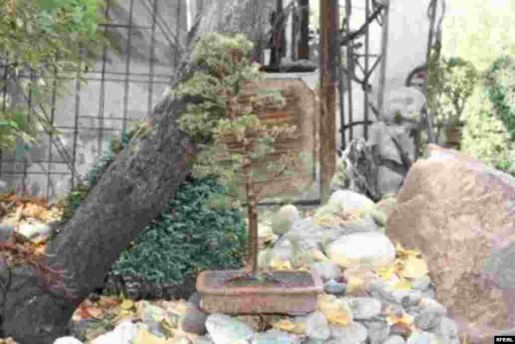 Бонсай в бишкекском дворике #6