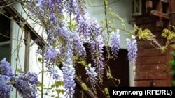 Цветение глицинии в Ялте