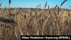 Крим, пшеничне поле, ілюстраційне фото