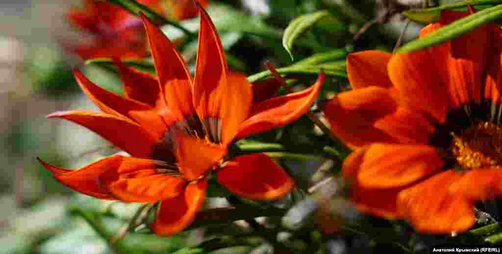 На клумбе набережной цветет гацания