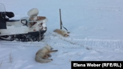 Убитые лисицы в Нуринском районе. Карагандинская область, январь 2019 года.