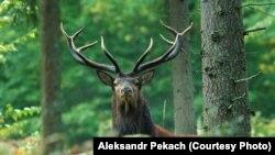 Высакародны алень, лес, Белавеская пушча. Фота – Аляксандар Пекач. Ілюстрацыйнае фота