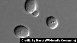 سلولهای مخمر ساکارومایسس سرویزیه