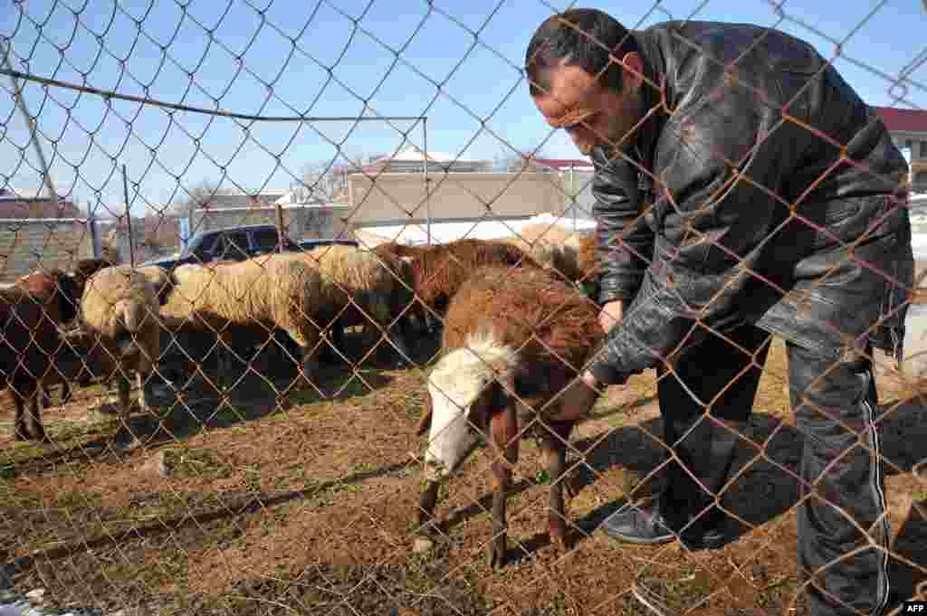 A farmer checks one of his sheep in the village of Zovuny.