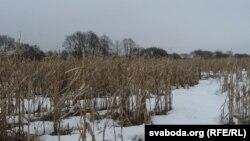 Нязжатае кукурузнае поле