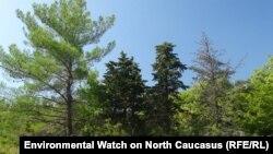 """Эти леса могут вскоре исчезнуть. Фото с сайта """"Экологической вахты по Северному Кавказу"""""""