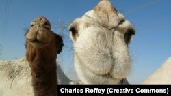 В Саудовской Аравии 12 верблюдиц были сняты с верблюжьего конкурса красоты за инъекции ботокса. Архивное фото