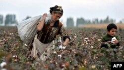 Хлопкоробы Кыргызстана сетуют на низкие закупочные цены нынешнего урожая.