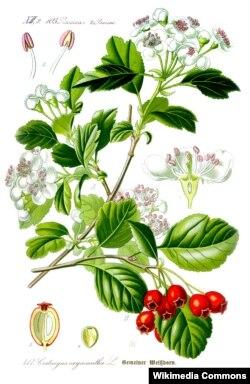 Праф. О. В. Тамэ. Crataegus laevigata L. (Wikimedia Commons)