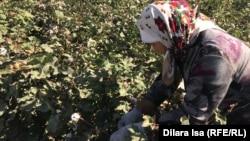 Мақта теріп жүрген әйел. Түркістан облысы, Жетісай ауданы 2 қазан 2018 жыл