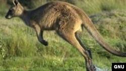 Ҳозирча битта-иккитасини кўриб қоламиз¸ аммо яқинда кенгуру кўп жойларга ҳам борамиз¸ дейди андижонлик Ҳалимахон.