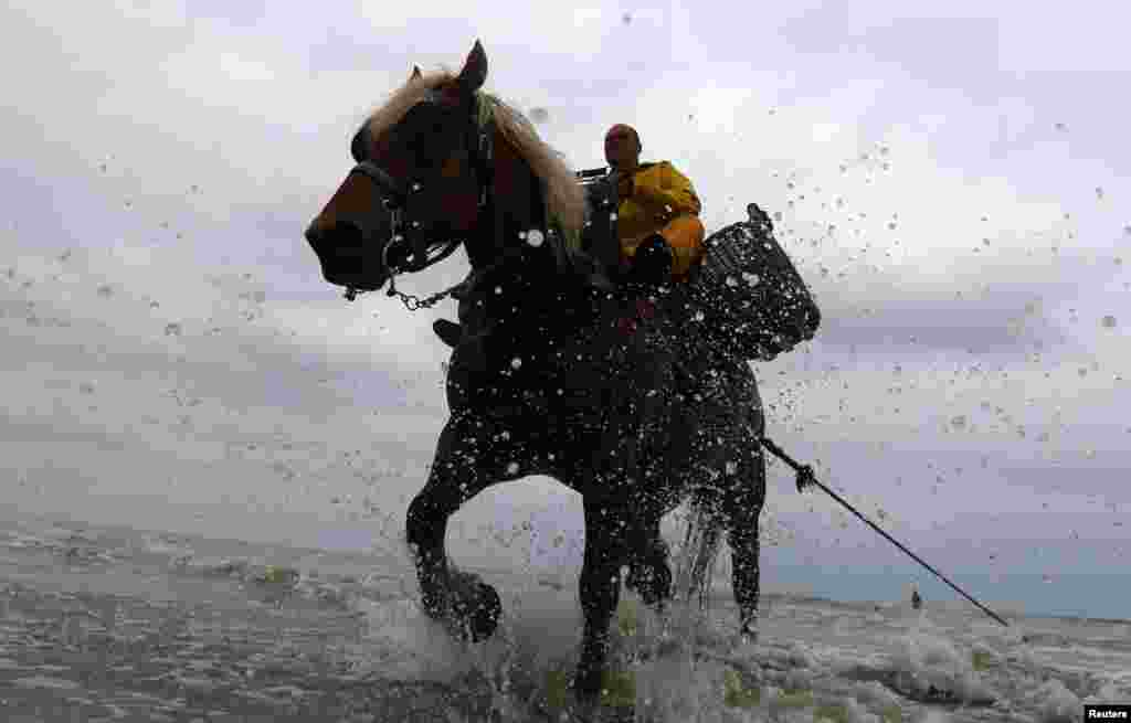 Belgian shrimp fisherman Xavier Vanbillemont rides a cart horse to haul a net out of the sea after catching shrimps during low tide in the coastal town of Oostduinkerke on July 12. (Reuters/Yves Herman)