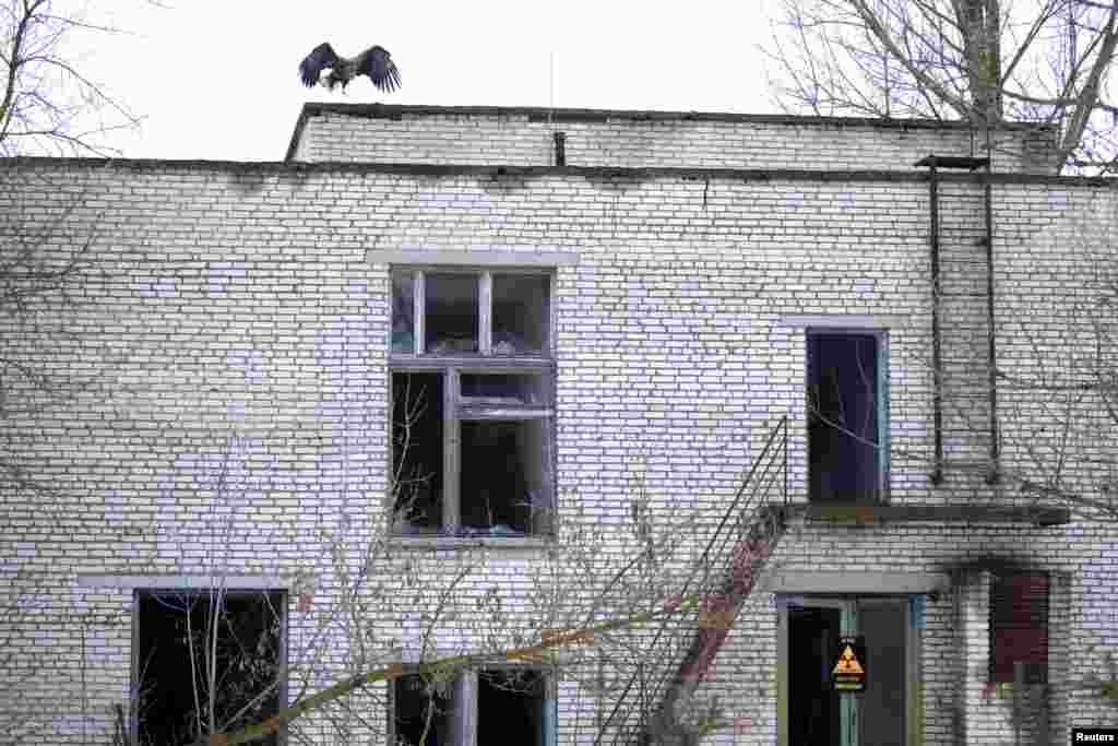 A white-tailed eagle on the roof of an abandoned school in Tulgovichi, Belarus