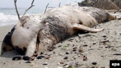 Туша мертвого дельфина на берегу Черного моря.