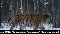 "Тигрица Карма. Фото предоставлено ФГБУ ""Заповедное Приамурье"""
