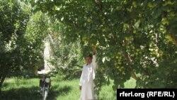 یک باغدار باغ سیب در افغانستان