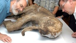 RUSSIA -- Scientists inspect the carcass of a baby mammoth in the Arctic city of Salekhard, July 2, 2007