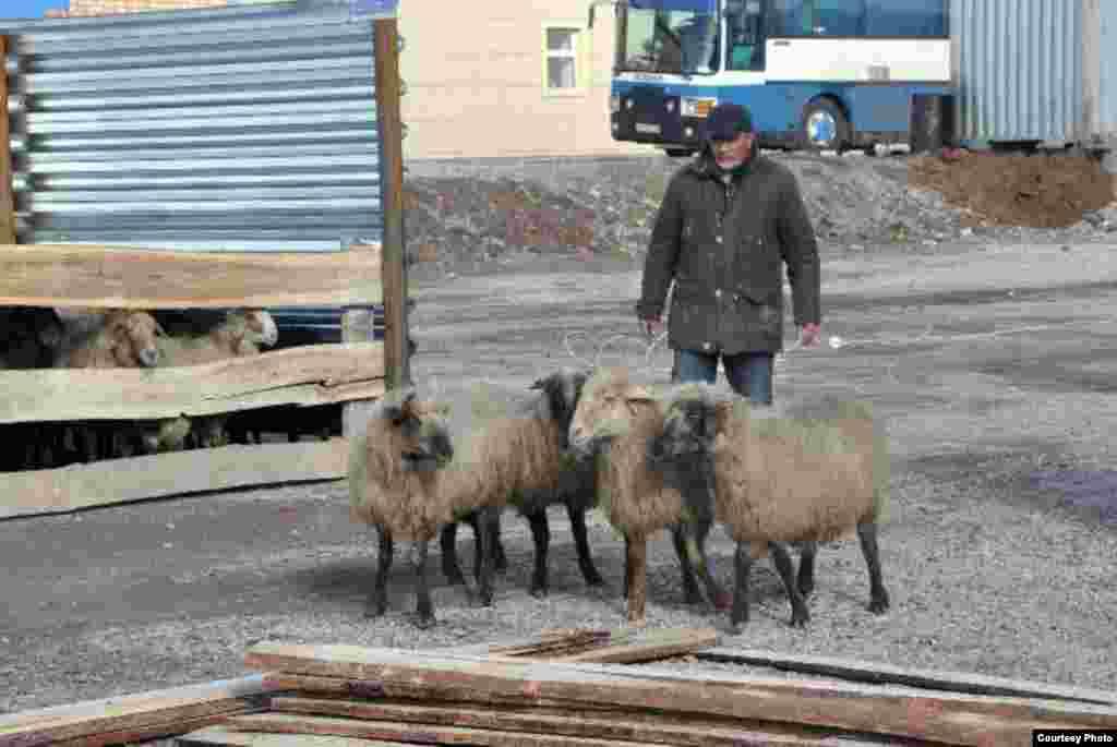Некоторые продавцы говорят, что цена на овец в эти дни растет только на 1500-2000 тенге. Они называют это минимальным извлечением прибыли.