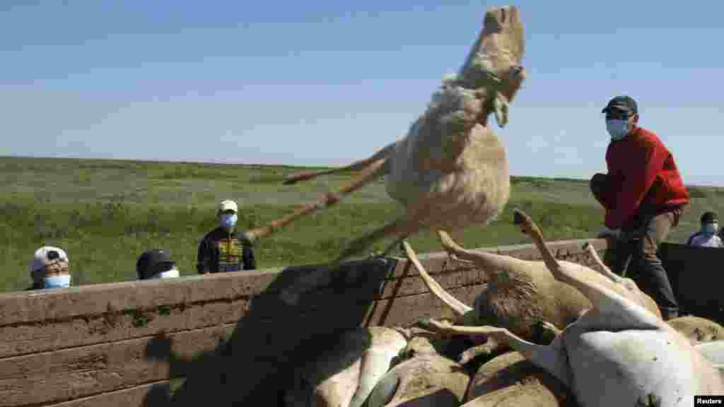 Men load a trailer with the carcasses of dead saiga during a previous die-off in May 2010 in a field some 600 kilometers southwest of Uralsk, Kazakhstan.