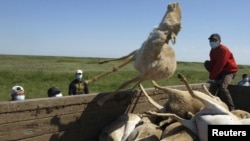 Men load a trailer with the carcasses of dead saiga antelopes in Kazakhstan on May 22, 2010.