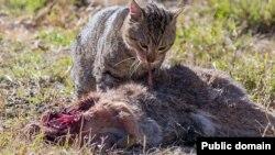Добыча австралийской бродячей кошки