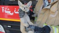 کوچ روباهها به تهران و مساله جدید پایتخت