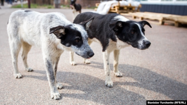 Собаки очікують з їдальні працівників ДСП «Чорнобильська АЕС», які зазвичай приносять їм гостинці