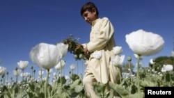 Owganystanly oglan Jalalabad etrabynda göknar ekilen meýdanda, 2012-nji ýylyň 4-nji maýy.