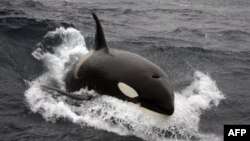 "Mamiferul marin denumit ""balena ucigașă"""