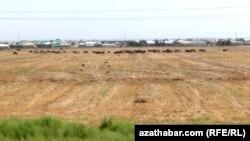 Посевные поля. Туркменистан.