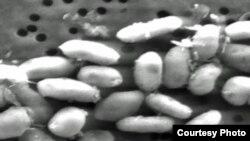 تصویری از باکتری هایی که از آرسنیک تغذیه می کنند