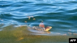A turtle swims through a massive oil slick about 25 kilometers south of the Louisiana coast.