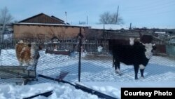 Скот в поселке Старый Жайрем. Карагандинская область, 27 декабря 2019 года.