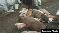Ликвидация свиней