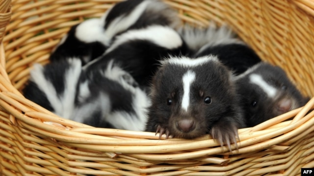 Under the proposal, the Liberal Party would be represented by a skunk.